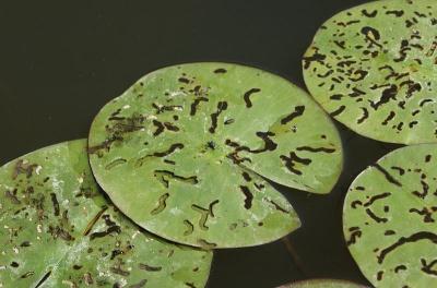Fraßbild der Larven des Seerosenblattkäfers