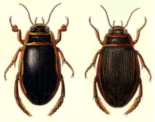 Gelbrandkäfer Männchen und Weibchen