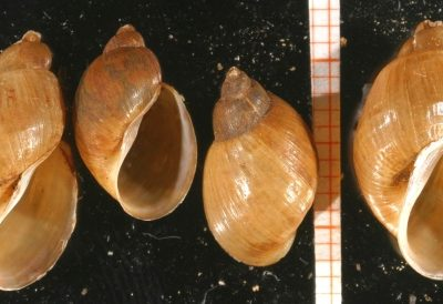 Gehäuseschalen der Schlammschnecke
