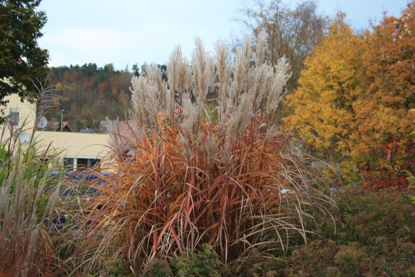 Gräser in herbstlichen Farben