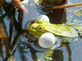 Rufendes Männchen des Kleinen Teichfroschs