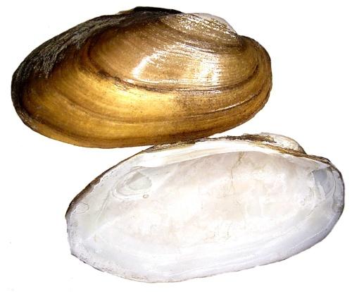 Gemeine Malermuschel Unio pictorum