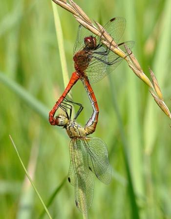 Paarungsrad der Blutroten Heidelibelle