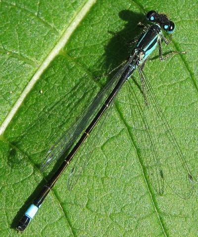 Männchen der Großen Pechlibelle Ischnura elegans