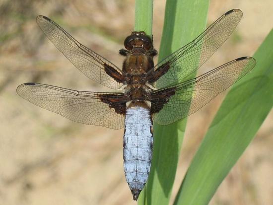 Männchen der Plattbauch-Libelle