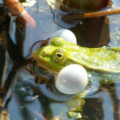 Quakendes Männchen des Kleinen Teichfroschs