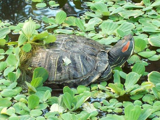 Rotwangenschmuckschildkröte inmitten einer Schwimmpflanzendecke aus Muschelblumen