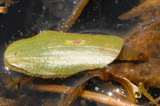 Raupe des Seerosenzünslers mit einem Köcher aus zwei Blattstückchen
