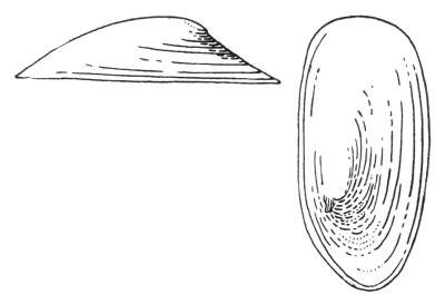 Schalenform der Teichnapfschnecke