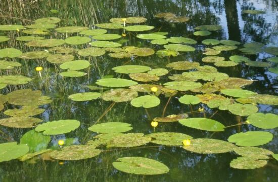 Die gelbe Teichrose