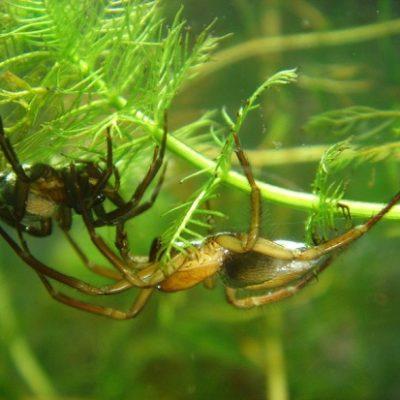 Wasserspinnenpaar
