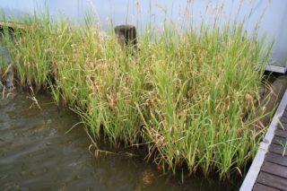 Teichpflanzen zurückschneiden