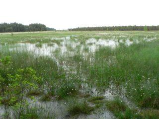 Sumpfbeet in der Natur