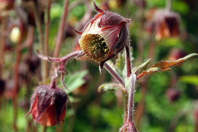 Blüte der Bach-Nelkenwurz