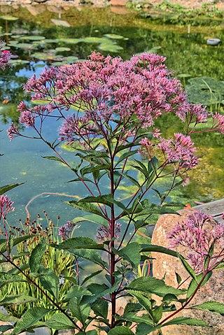 Der Wasserdost - Eupatorium cannabium