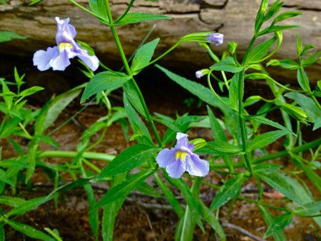 Blaue Gauklerblume