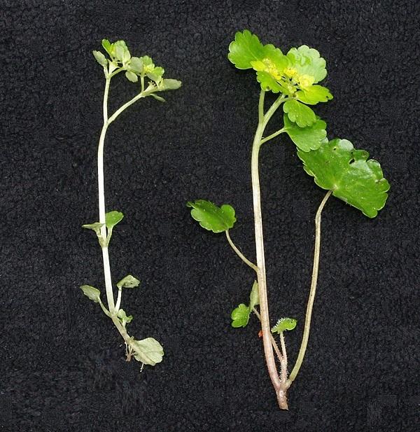 Unterschiede in der Verzweigung der Pflanzenstängel und Anordnung der Laubblätter vom Gegenblättrigen (links im Bild) und Wechselblättrigem Milzkraut (rechts)