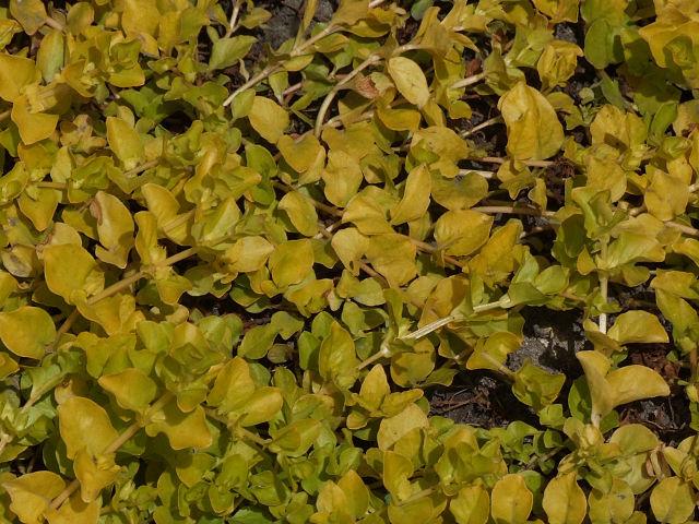 Die Sorte 'Aurea' des Pfennigkrautes hat goldgelbe Blätter