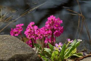 Sumpf-Primel am Gartenteich