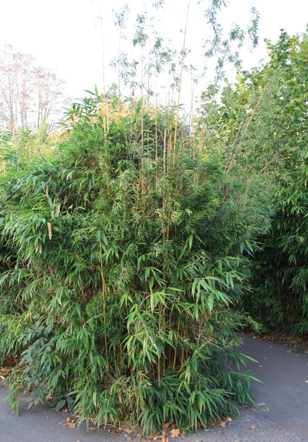 Bambus am Teichrand