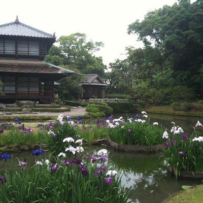 Japanischen Sumpf-Schwertlilien