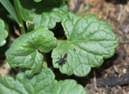 Blattläuse bekämpfen mit Marienkäfer