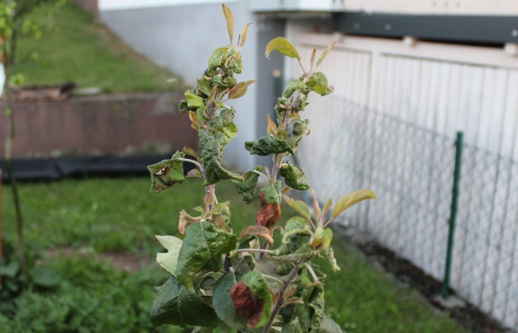 Blattläuse an einer Pflanze