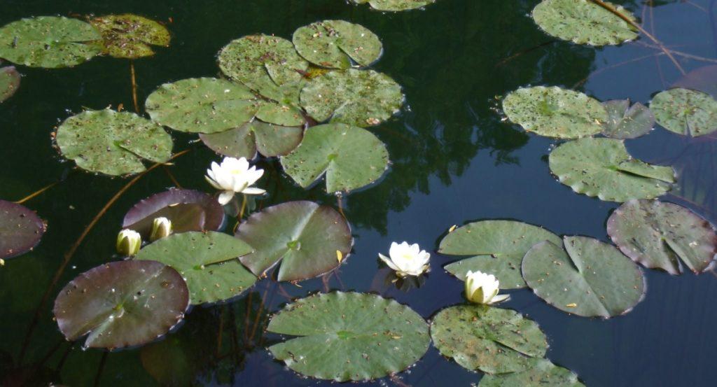 Schwimmpflanzen als Schattenspender