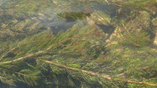 Ähriges Tausendblatt mit seinen, im Wasser flotierende Sprossen