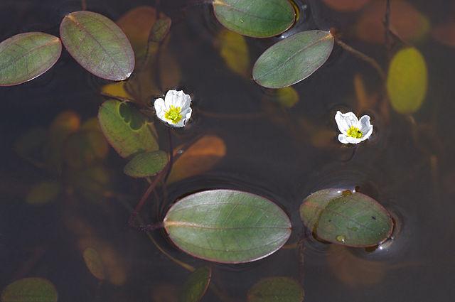 Der Schwimmlöffel - Luronium natans