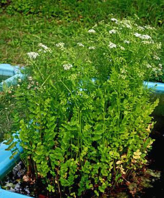 Berle (Berula erecta) am Gartenteich