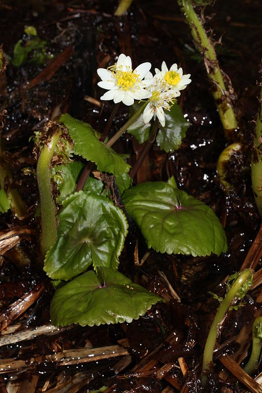Nordamerikanische Sumpfdotterblume Caltha leptosepala