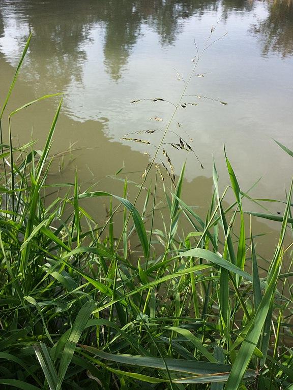 Die Reisquecke (Leersia oryzoides)