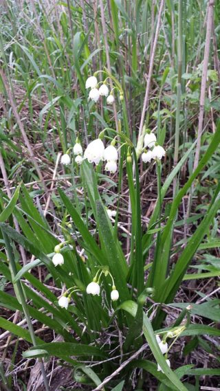 Sommerknotenblume (Leucojum aestivum)