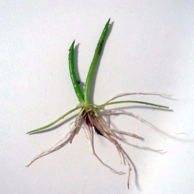 Strandling (Littorella uniflora)