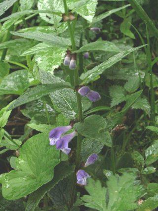 Sumpfhelmkraut (Scutellaria galericulata)