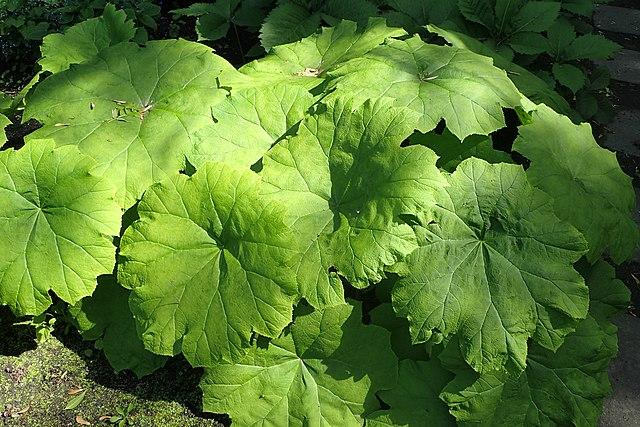 Das Tafelblatt (Astilboides tabularis)