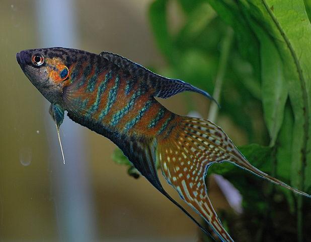 Der Paradiesfisch im Gartenteich