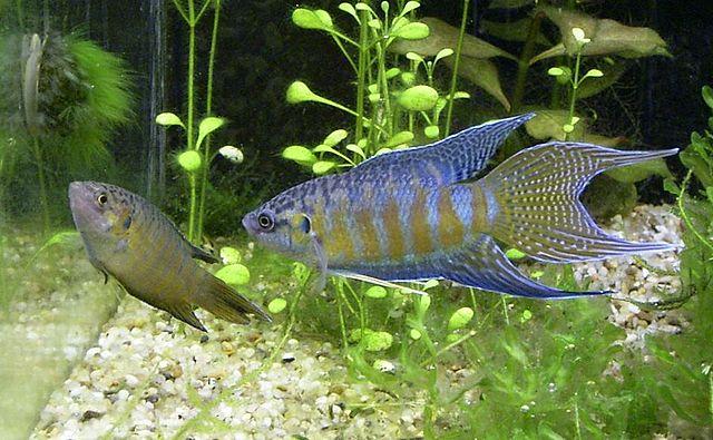 Paradiesfische während der Paarung