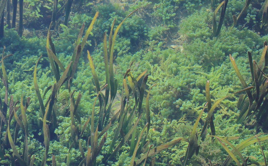 Teichpflanzen unter Wasser