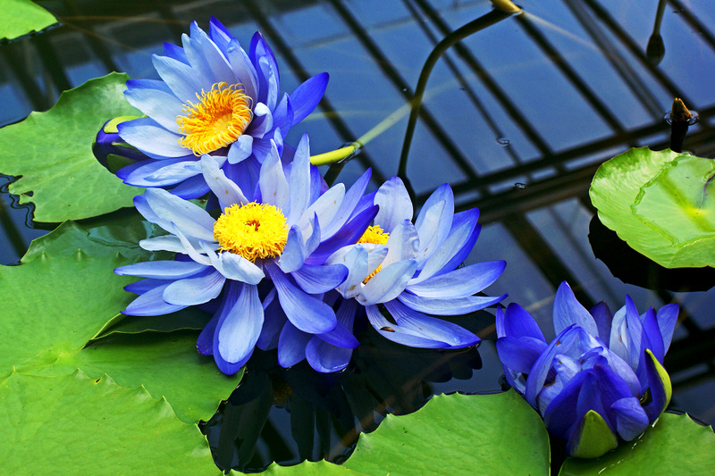 Blaue Riesenseerose