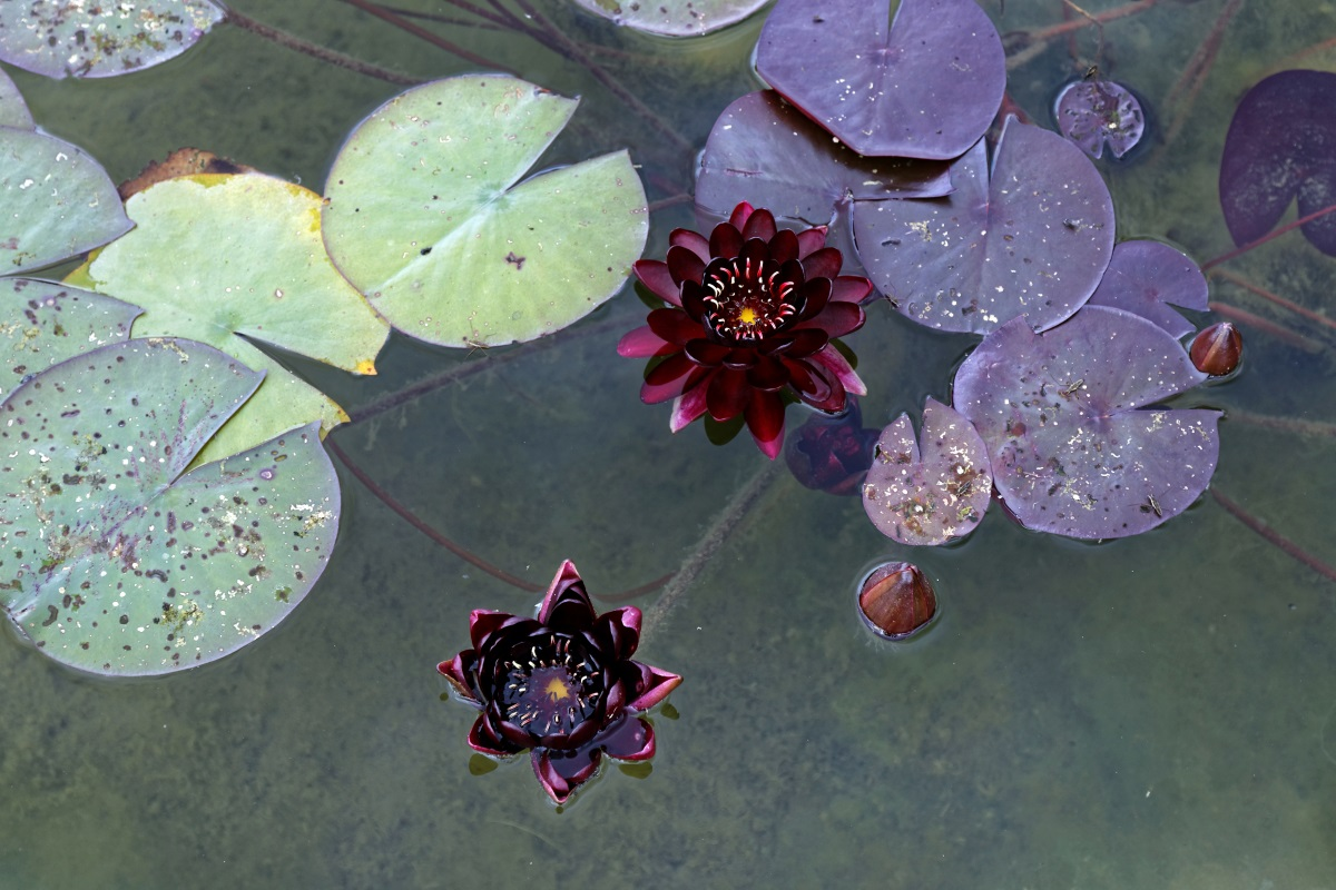 Blüte der Nymphaea black princess