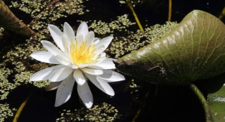 Knollen-Seerose - nymphaea tuberosa