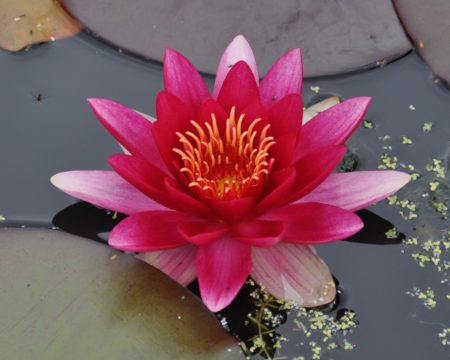 Seerose Nymphaea attraction
