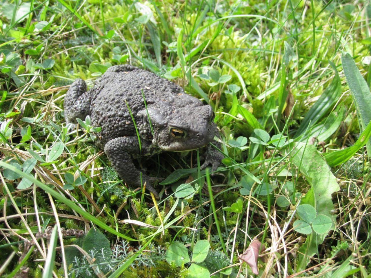 Erdkröte im eigenen Garten