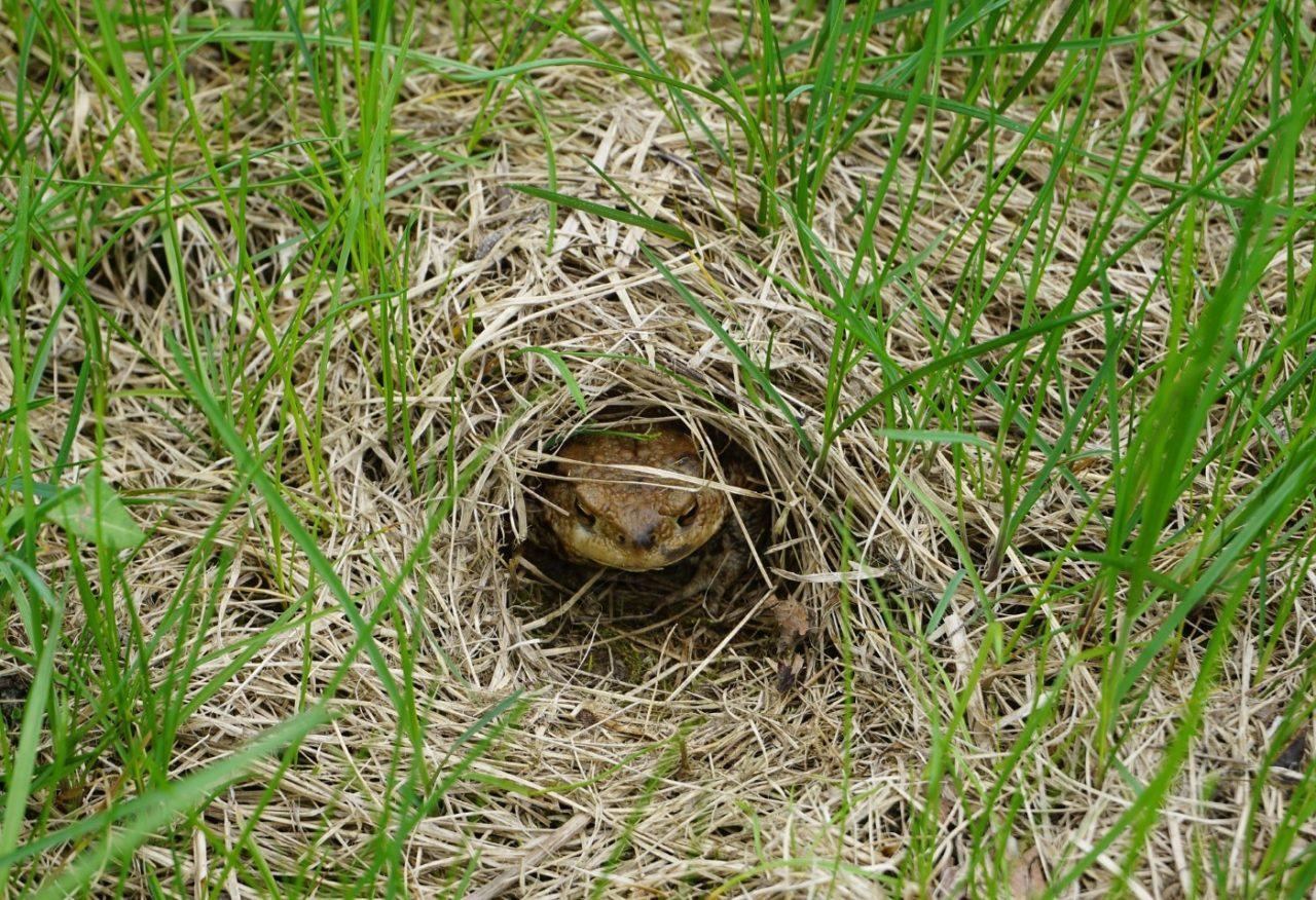 Erdkröte überwintert im Erdloch