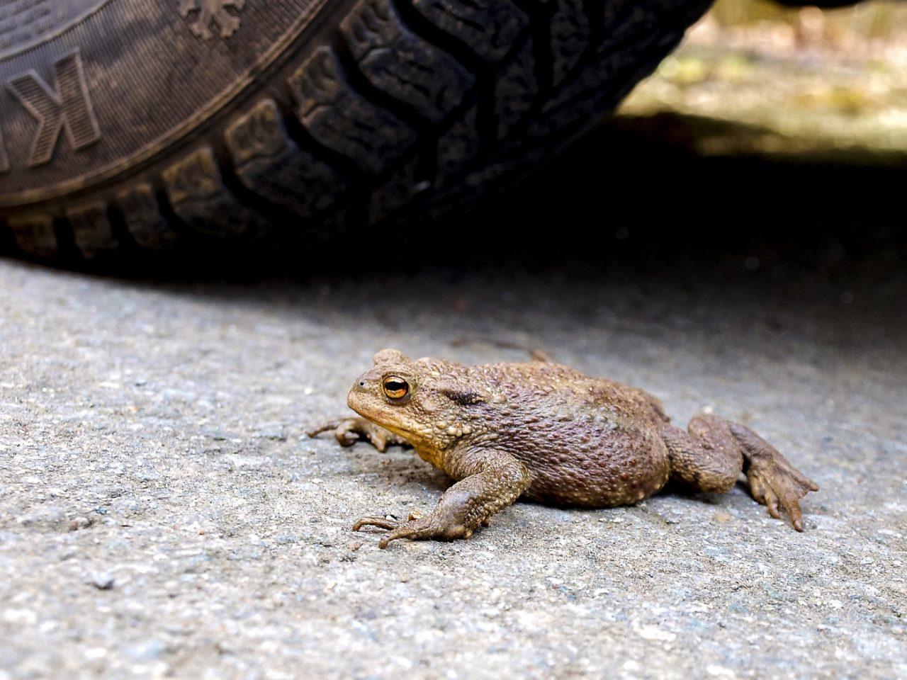Straßen als Gefahr für Kröten