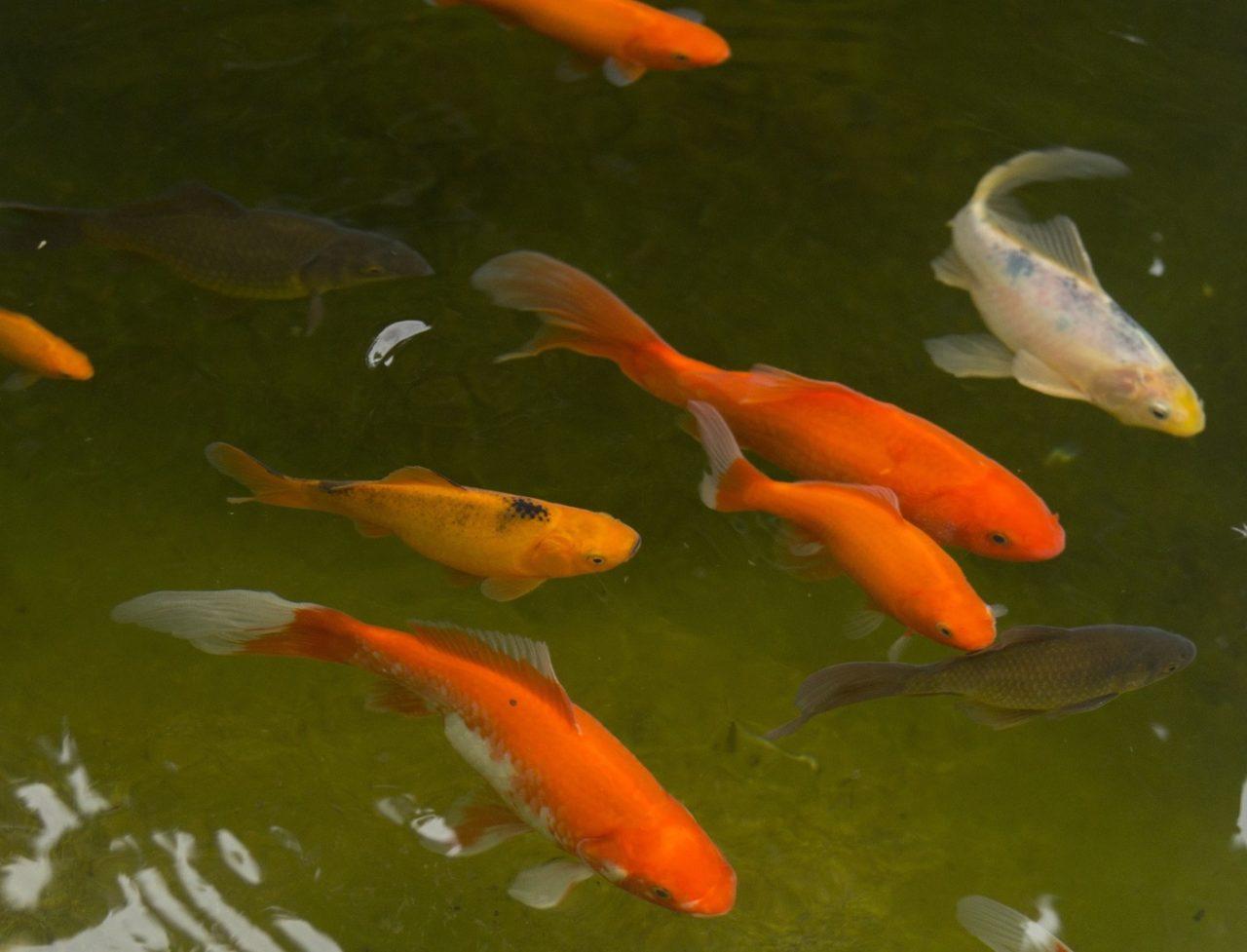 Farbwechsel des Goldfisch mit dem Alter
