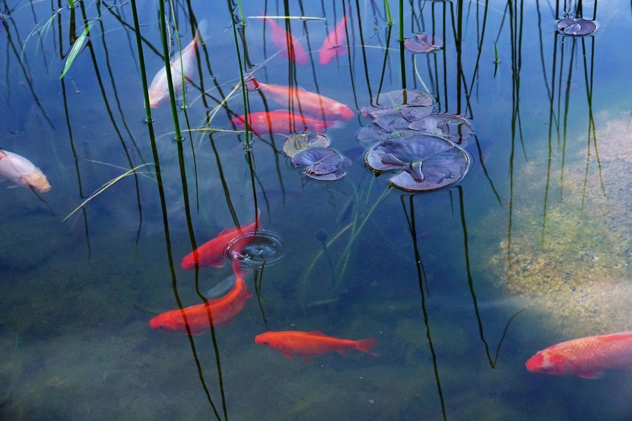 Goldfische in Gruppe halten