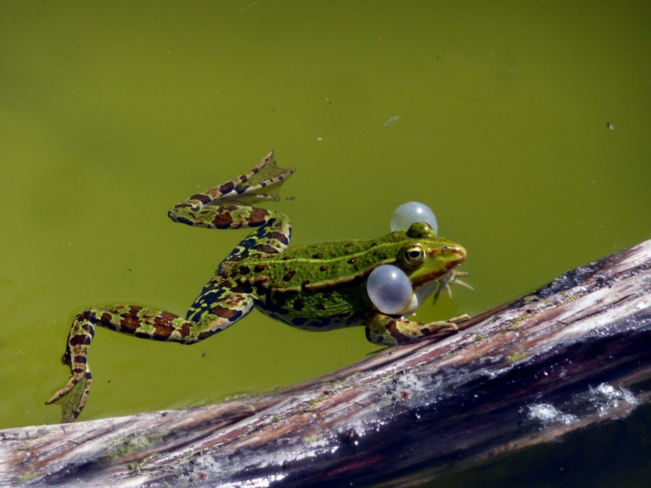 Grünes Wasser im Teich